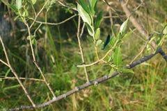 Grüne Libelle auf Weidenzweig Lizenzfreie Stockfotografie