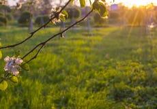Grüne Lichtung bei Sonnenuntergang gestaltet durch rosafarbene Blumen eines Apfelbaums lizenzfreies stockbild