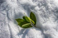 Grüne Lorbeerblätter auf einem Hintergrund stockfoto