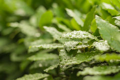 Grüne Lorbeerblätter mit Tropfen Stockfotos