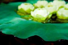 Grüne Lotosanlagen in Asien stockfotos