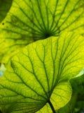 Grüne Lotosblätter Natürlicher Hintergrund Stockbilder