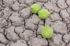 Grüne Lotosblume Stockfoto