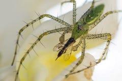 Grüne Luchs-Spinne Stockfoto
