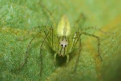 Grüne Luchs-Spinne Lizenzfreie Stockfotografie