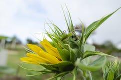 Grüne Luchs-Spinne, die Emerald Green Golden Bee hält lizenzfreie stockfotos
