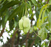 Grüne Mango auf Baum Stockbild