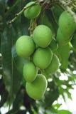 Grüne Mango auf dem Baum Stockfoto
