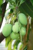 Grüne Mango auf dem Baum Stockfotos