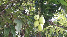 Grüne Mango (Frucht) auf Baum stockfoto