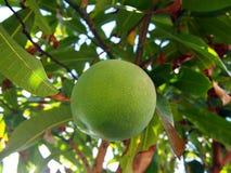Grüne Mango hängt vom Baum Stockfoto