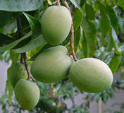 Grüne Mangofrüchte Stockbild
