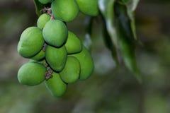 Grüne Mangofrüchte auf einem Baum Stockbilder