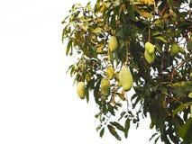 Grüne Mangofrüchte, die am Baumast lokalisiert hängen Stockfotografie