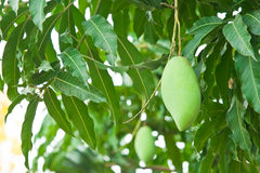 Grüne Mangofrucht Stockfotos