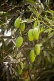 Grüne Mangofrucht Lizenzfreies Stockfoto
