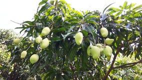 Grüne Mangofrucht auf Baum stockfoto