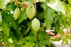 Grüne Mangofrucht auf Baum Stockfotos