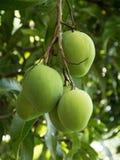 Grüne Mangos Lizenzfreie Stockfotos