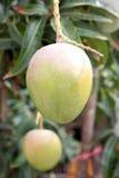 Grüne Mangos auf den Bäumen in den Obstgärten. Lizenzfreies Stockfoto