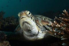Grüne Meeresschildkröte ( Stockbild
