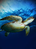 Grüne Meeresschildkröte lizenzfreies stockfoto