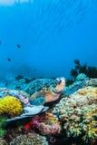 Grüne Meeresschildkröte auf buntem Unterwasser- und blauem Hintergrund des Korallenriffs Lizenzfreie Stockfotografie