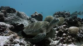 Grüne Meeresschildkröte auf ein Korallenriff sweetlips stock video footage