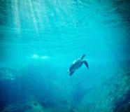 Grüne Meeresschildkröte (Chelonia mydas) Lizenzfreies Stockfoto