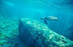 Grüne Meeresschildkröte (Chelonia mydas) Lizenzfreies Stockbild