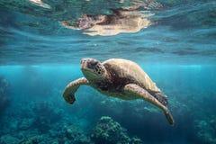 Grüne Meeresschildkröte an der Oberfläche lizenzfreie stockfotografie