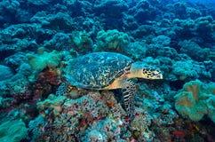 Grüne Meeresschildkröte, die auf einem bunten Korallenriff sitzt Stockbild