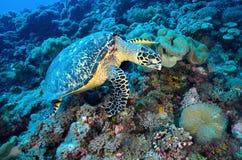 Grüne Meeresschildkröte, die auf einem bunten Korallenriff sitzt Stockfotos