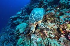 Grüne Meeresschildkröte, die auf einem bunten Korallenriff sitzt Lizenzfreie Stockfotos