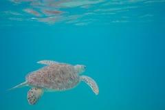 Grüne Meeresschildkröte, die im Oberflächenwasser sich reflektiert lizenzfreies stockbild