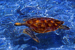 Grüne Meeresschildkröte, Galapagos lizenzfreie stockfotos