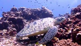 Grüne Meeresschildkröte haben einen Schlaf stock video