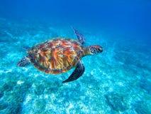 Grüne Meeresschildkröte im Meer Große grüne Meeresschildkrötenahaufnahme Wilde Naturmarinespezies Lizenzfreie Stockfotos
