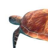 Grüne Meeresschildkröte lokalisiert auf weißem Hintergrund lizenzfreies stockbild