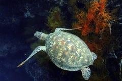 Grüne Meeresschildkröte, Sipadan-Insel, Sabah Stockfotos