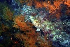 Grüne Meeresschildkröte, Sipadan-Insel, Sabah Lizenzfreie Stockbilder