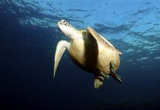 Grüne Meeresschildkröte, Sipadan-Insel, Sabah Stockbild