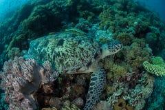 Grüne Meeresschildkröte und Remoras Unterwasser Lizenzfreie Stockbilder