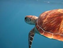 Grüne Meeresschildkröteschwimmen im Meer lizenzfreie stockbilder