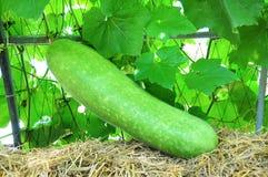 Grüne Melone Stockfoto