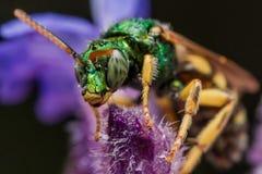 Grüne metallische Schweiss-Biene auf purpurroter Blume Stockfotos