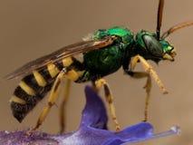 Grüne metallische Schweissbiene auf purpurroter Blumenprofilansicht Lizenzfreies Stockfoto