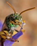 Grüne metallische Schweissbiene kreuzt Arme auf purpurroter Blume gerade Lizenzfreie Stockbilder