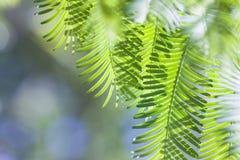 Grüne Metasequoiafrühlings-Grünblätter stockfoto