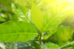 Grüne Mikrobe in einem Sun-Licht-Hintergrund Stockfotos